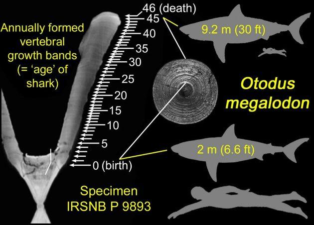 Wachstumsbänder an fossilen Knochenfunden des riesigen Urzeithais Megalodon verweisen auf eine Lebensgröße von rund 9 Metern des mit etwa 46 Jahren verstorbenen Tieres, das bei der Geburt bereits rund 2 Meter groß gewesen sein muss. Copyright: DePaul University/Kenshu Shimada
