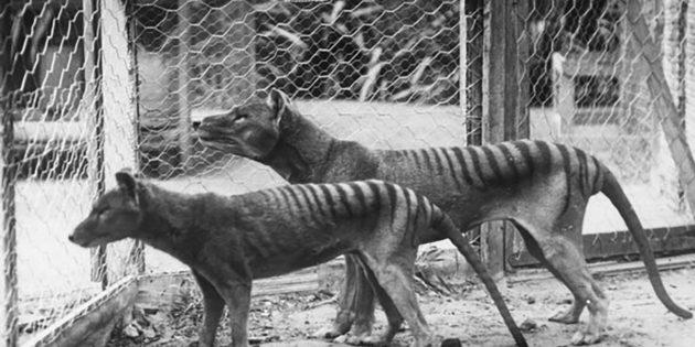 Thylacine im Beaumaris Zoo von Hobart, Tasmanien. Copyright: Gemeinfrei