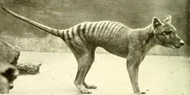 Symbolbild: Ein Beutelwolf-Jungtier, fotografiert 1910. (Hinweis: Außer, dass dieses historische Foto einen Beutelwolf zeigt, besteht keine weitere Verbidnung zu den in dieser Meldung diskutierten neuen Aufnahmen.) Copyright: Gemeinfrei