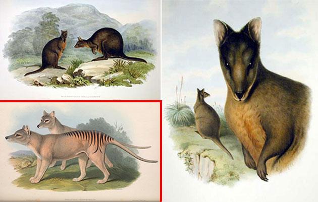 """Schon Ende des 19. Jahrhunderts war die Unterscheidung zwischen Beutelwölfen (u.l.) und Filandern (o.u.r.) keie Zauberei (Illu.). Copyright: Jogn Gould, aus """"The Mamals of Australia"""" (1863) / Gemeinfrei"""