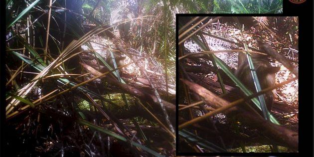 """Beutelwolf-Forscher veröffentlichen Aufnahmen möglicher Tasmanischer Tiger Wildtierkamera-Aufnahme eines Jungtieres mit zahlreichen Merkmalen der auch als """"Tasmanische Tiger"""" bezeichneten und eigentlich als ausgestorbenen geltenden Beutelwölfe (Thylacinus cynocephalus). Copyright: Thylacine Awareness Group of Australia"""