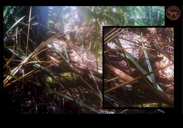 """Eine von insgesamt 3 Wildtierkamera-Tageslichtaufnahmen zeigt ein Jungtier mit zahlreichen Merkmalen der auch als """"Tasmanische Tiger"""" bezeichneten und eigentlich als ausgestorbenen geltenden Beutelwölfe (Thylacinus cynocephalus). Copyright: Thylacine Awareness Group of Australia"""