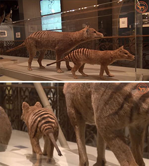 Zum Vergleich: Ausgestopfte Beutelwölfe im Museum von Adelaide. Copyright/Quelle: TAGOA