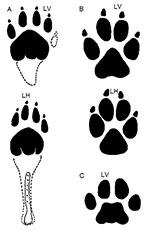 Zum Vergleich: Trittsiegel eines Beutelwolfes (A), eines Haushundes (B) und einer Hauskatze (C). Copyright/Quelle: Inugami-bargho (via WikimediaCommons) / CC BY-SA 3.0