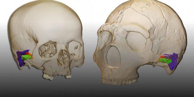 """3D-Rekonstruktion der Innenohrstrukturen im Schädel moderner Menschen (l.) und des Neandertalers """"Amud1"""" (r.). Copyright/Quelle: Mercedes Conde-Valverde / Binghamton University"""