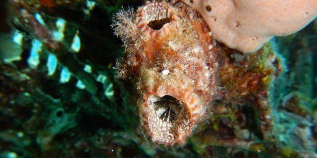 Die Seescheide Polycarpa mytiligera, besitzt extreme Regenrationsfähigkeiten. Copyright/Quelle: Tel Aviv University