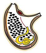 Anatomischer Schnitt durch Polycarpa mytiligera (Grafik). Copyright/Quelle: Tel Aviv University