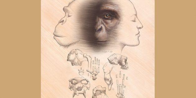 Der letzte gemeinsame Vorfahr von Schimpansen und Menschen ist der Ausgangspunkt der Evolution von Menschen und Schimpansen. Fossile Affen spielen eine wesentliche Rolle bei der Rekonstruktion der Natur unserer Affenherkunft. Copyright: Christopher M. Smith