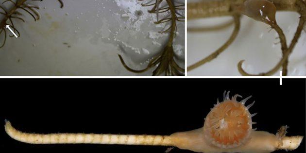 Heute noch lebende Symbiose zwischen Exemplar der Symbiose von Crioniden und Hexacorallia vor. Copyright: (Zapalski et al., Palaeo 3, 2021)