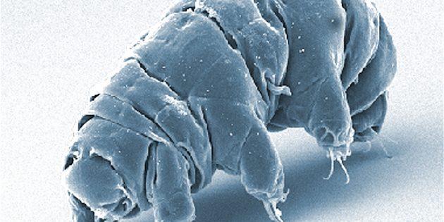 Elektronenmikroskop-Aufnahme eines aktiven Bärtierchens. Copyright/Quelle: PLoS ONE 7(9): e45682. doi:10.1371/journal.pone.0045682