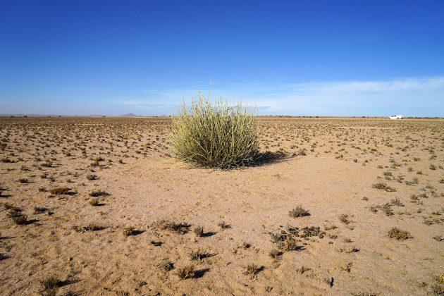 Ein vitaler Euphorbia-damarana-Busch, der am Rande eines viel größeren Feenkreises in der Region Brandberg wächst. Die Größenverteilung der abgestorbenen Sträucher stimmte nicht mit den Größen der Feenkreise in der Studie überein. Copyright: Dr. Stephan Getzin
