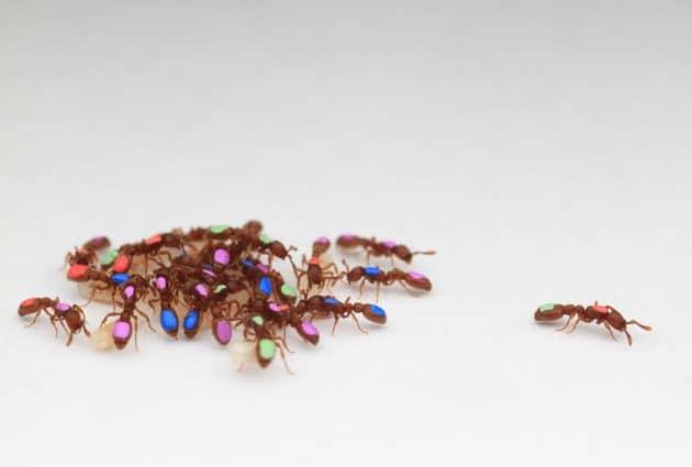 Durch automatisiertes Tracking wird die Komplexität der kollektiven Organisation von Ameisen sichtbar. Copyright: Daniel Kronauer