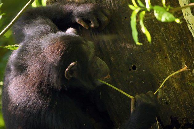 Schimpansen sind dafür bekannt, verschiedene Werkzeuge zu benutzen. Scharfe Steinwerkzeuge gehören jedoch nicht dazu. Copyright/Quelle: Kevin Langergraber / Universität Tübingen