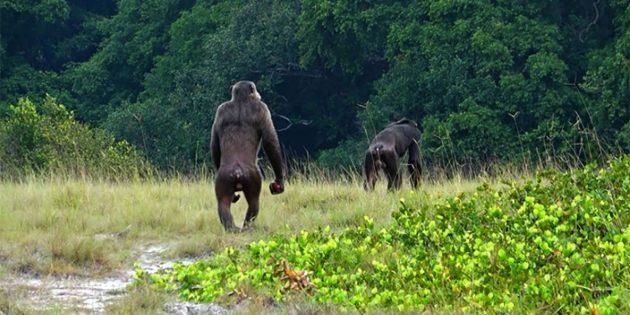 Schimpansen im Loango-Nationalpark. Copyright: Lara Southern, ozouga.org