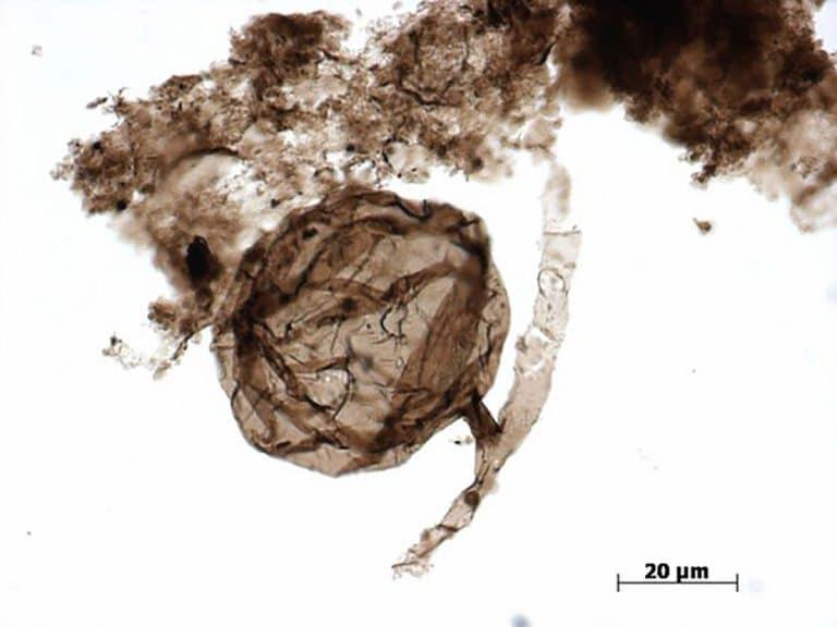 Mikroskopaufnahme der 900 Mio. bis 1 Mrd. Jahre alten Mikrofossilien aus der Grassy Bay Formation. Copyright: C. Loron / Handout Laurentian University