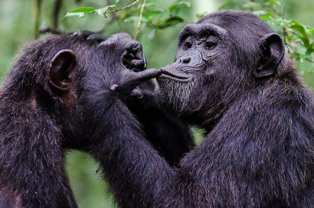 Interaktion zwischen Bonobos. Copyright: Emilie Genty