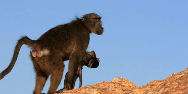 Ein Pavianweibchen trägt den Körper seines verstorbenen Kindes mit sich. Copyright: thanatobase.mystrikingly.com