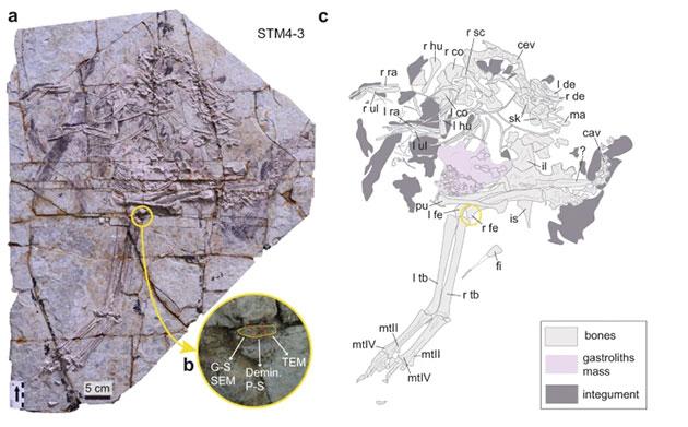 Das untersuchte Caudipteryx-Fossil. Copyright/Quelle: Zheng Qiuyang et al., Communications Biology 2021